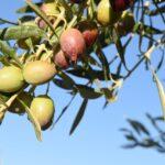El consumo de aceite de oliva virgen extra reduce el riesgo de enfermedades
